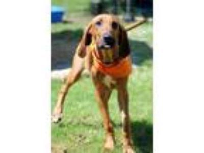 Adopt 190699 Whitt a Redbone Coonhound