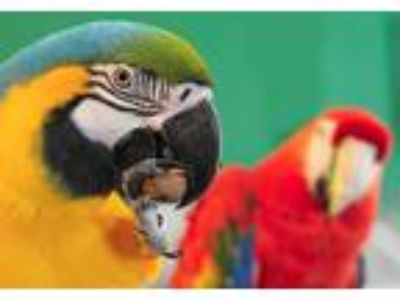 Adopt OLLIE & Layla a Macaw bird in Asheville, NC (13481612)