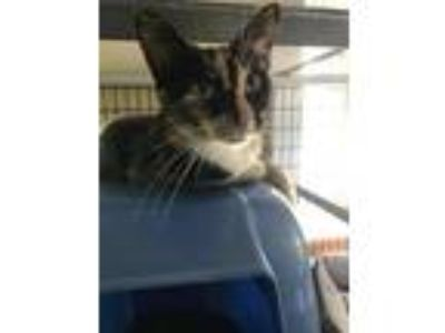 Adopt Micki a Calico / Mixed cat in Freeport, FL (22448905)