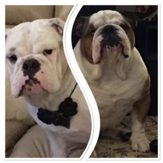 English Bulldog PUPPY FOR SALE ADN-96948 - English bulldogs NY area