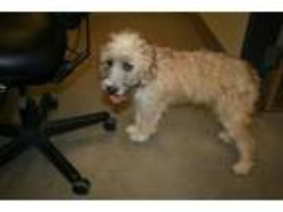 Adopt DAISY a Poodle, Border Terrier