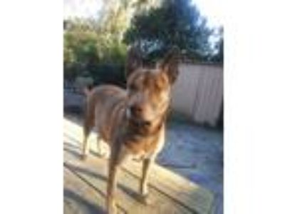 Adopt Cinnaman a Brindle Husky / American Pit Bull Terrier dog in Dunnellon
