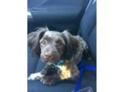 Adopt Piper a Brown/Chocolate Dachshund / Poodle (Miniature) dog in Houston