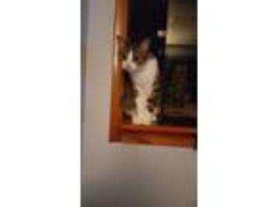 Adopt Darwin a Brown Tabby American Shorthair / Mixed cat in Florissant