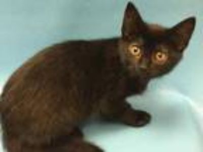 Adopt Maleficent a All Black Domestic Shorthair / Mixed cat in Coon Rapids