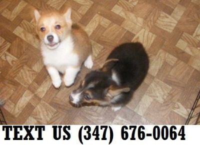 Corgi Puppy Classifieds Clazorg