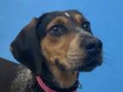 Adopt Penny a Hound, Cattle Dog