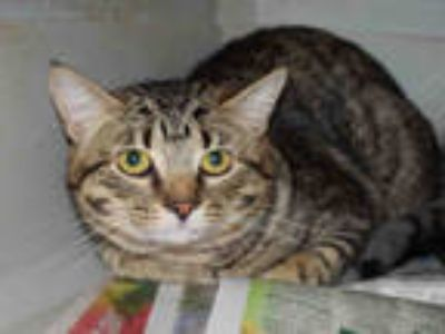 Adopt MARCEL a Brown Tabby Domestic Shorthair / Mixed (short coat) cat in