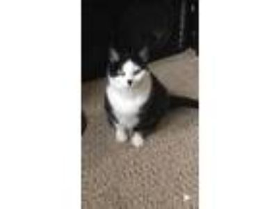Adopt Luna a Black & White or Tuxedo American Shorthair cat in Flat Rock