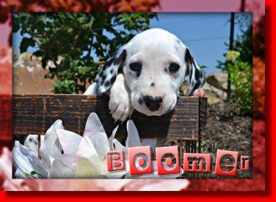 Boomer Male AKC Dalmatian