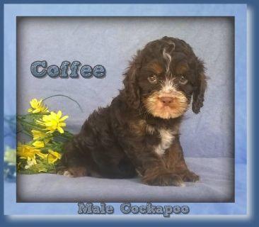 Coffee Male Cockapoo