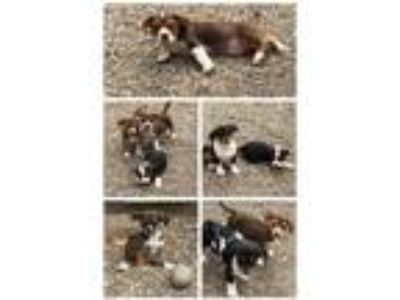 Adopt Dachshund mix puppies a Dachshund, Australian Cattle Dog / Blue Heeler