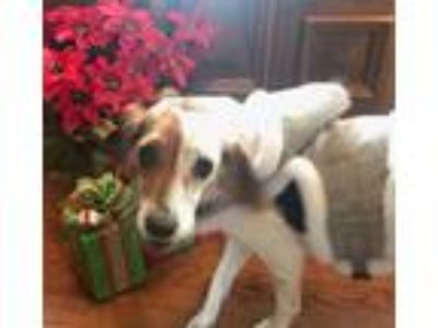 Adopt Piper a Brown/Chocolate - with White Beagle / Mixed dog in Plain City