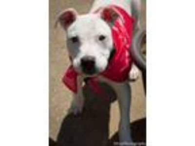 "Adopt Hazel "" Puppy White Staffie Princess "" a Staffordshire Bull Terrier"