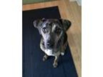 Adopt Jessie a Merle Catahoula Leopard Dog / Mixed dog in Palm City