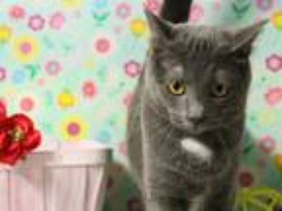 Adopt Kelly Garrett a Gray or Blue Domestic Shorthair (short coat) cat in