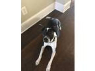Adopt Xavier a Black - with White American Pit Bull Terrier / Mixed dog in