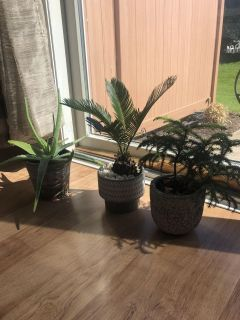 All repotted in new ceramic pots. Aloe, palm tree and Norfolk pine plants .