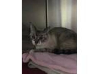 Adopt Hazel a Cream or Ivory Domestic Shorthair / Domestic Shorthair / Mixed cat
