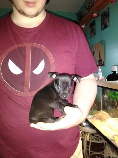 Chiweenie/ chihuahua puppies one boy left