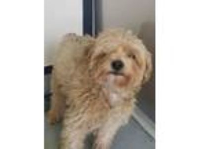 Adopt Skittles a Poodle, Mixed Breed