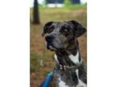 Adopt Maybell a Black Catahoula Leopard Dog / Mixed dog in Huntsville
