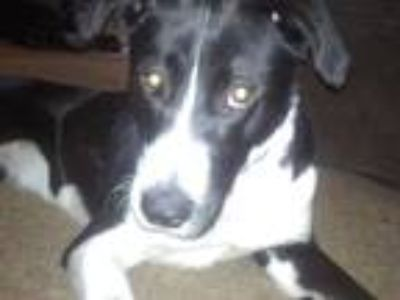 Adopt Missy a White - with Black Border Collie / Mixed dog in Norton