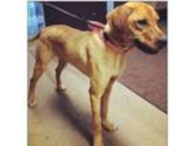 Adopt Luna a Tan/Yellow/Fawn Labrador Retriever / Mixed Breed (Medium) dog in