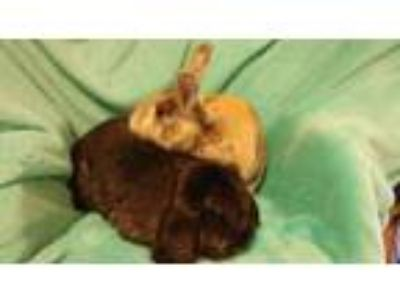 Adopt Angus and Abigail a French Lop, Bunny Rabbit