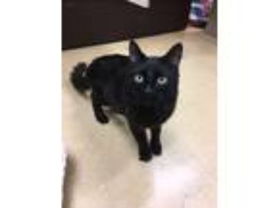 Adopt Sparky a All Black Domestic Longhair (long coat) cat in San Francisco