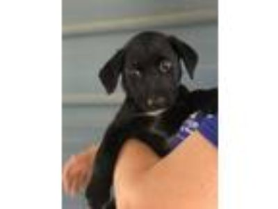 Adopt Sindel a Black Labrador Retriever / Mixed dog in Berkeley Heights