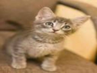 Adopt GYPSUM a Domestic Short Hair