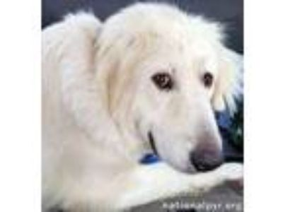 Adopt Cindy - Brave Girl a Great Pyrenees