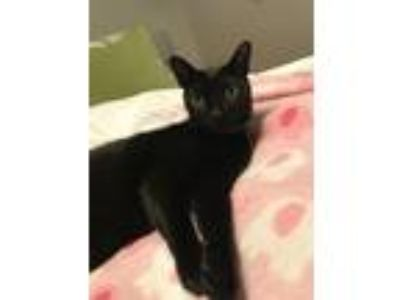 Adopt Sammy a All Black American Shorthair / Mixed cat in Brea, CA (23298146)