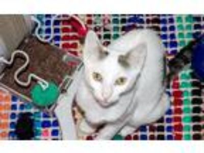 Adopt Stormy a White (Mostly) Domestic Shorthair (short coat) cat in Chicago