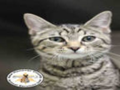 Adopt CHASE a Gray, Blue or Silver Tabby Domestic Shorthair / Mixed (short coat)