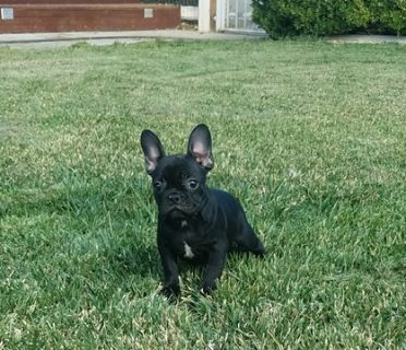 French Bulldog PUPPY FOR SALE ADN-99815 - AKC French Bulldog Girl