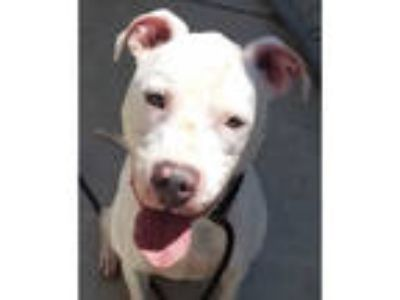 Adopt COTTON a White American Pit Bull Terrier / Mixed dog in Martinez