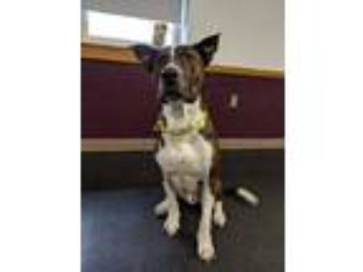 Adopt Maverick a Brindle Shepherd (Unknown Type) / American Pit Bull Terrier /