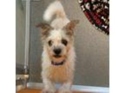 Adopt Rocky a White Schnauzer (Miniature) / Shih Tzu / Mixed dog in McKinney