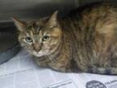 Adopt DIXIE a Brown Tabby Domestic Shorthair / Mixed (short coat) cat in Temple