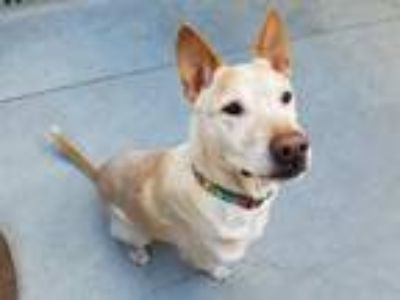 Adopt HARVEY a German Shepherd Dog, Chow Chow