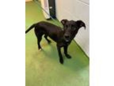 Adopt Lin-At the Shelter a Labrador Retriever