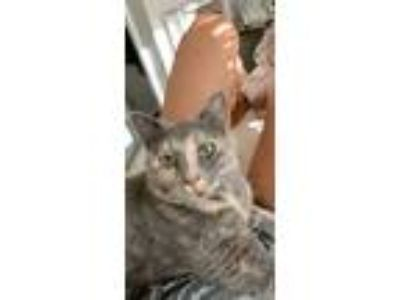 Adopt Nikita a Tortoiseshell Domestic Shorthair cat in Louisville, KY (25903638)