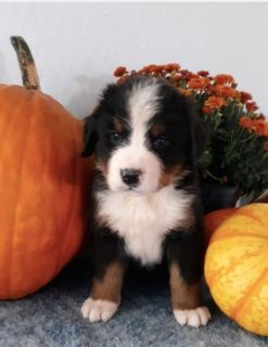 Puppy For Sale Classifieds In Schoharie New York Clazorg