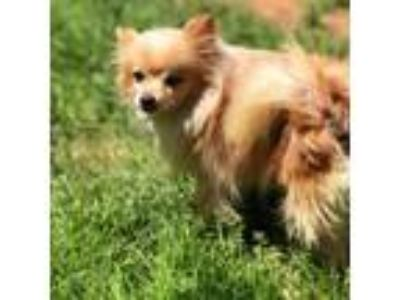 Adopt Hunter - In Foster in Rocky Mount, NC a Pomeranian