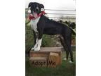 Adopt Adam a Border Collie, Pit Bull Terrier