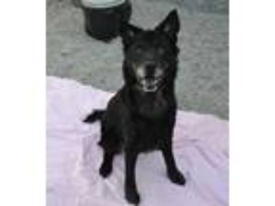 Adopt MACY a Black Chow Chow / Labrador Retriever / Mixed dog in Rancho