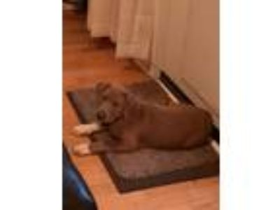 Adopt Brie Bella a Brown/Chocolate - with White Pit Bull Terrier / Mixed dog in