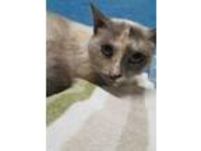 Adopt Ellie a Cream or Ivory Siamese / Domestic Shorthair / Mixed (short coat)